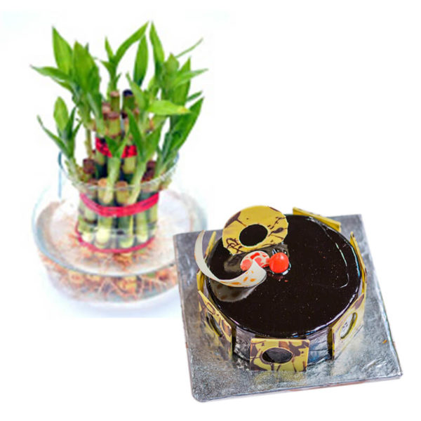 9.lucky bamboo and chocolate truffle